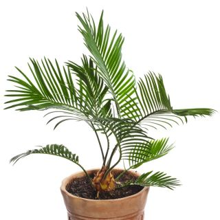 Canary Island Date Palm seeds - Phoenix canariensis - 5 seeds