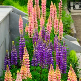 Garden Lupin - a selection of varieties seeds - Lupinus polyphyllus - 90 seeds