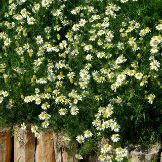 Chamomile seeds - Matricaria chamomilla - 3200 seeds