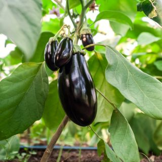 Eggplant, Aubergine seeds - Solanum melongena - 210 seeds