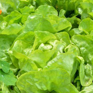Butterhead Lettuce Justyna seeds - Lactuca sativa - 950 seeds