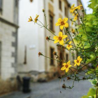 Bur Marigold seeds - Bidens aurea - 160 seeds