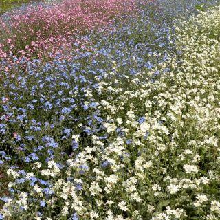 Alpine Forget-Me-Not - a selection of varieties - seeds - Myosotis alpestris - 1100 seeds