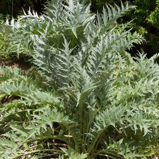 Cardoon seeds - Cynara cardunculus - 25 seeds