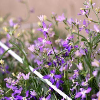 Night Scented Stock, Evening Stock seeds - Matthiola bicornis
