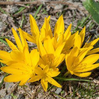 Sternbergia - Sternbergia