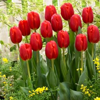Tulipa Red - Tulip Red - 5 bulbs