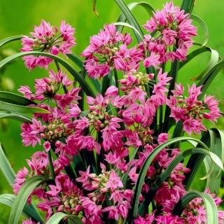 Allium oreophilum - 20 kvetinové cibule