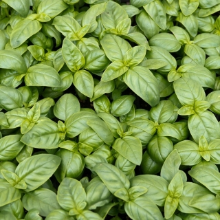 "BIO - Basil ""Italiano Classico"" - certified organic seeds - 325 seeds"