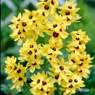 Ixia Kaisar Kuning Paket Besar 150 Pcs Bunga Bakung Jagung
