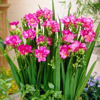 Pink double freesia - Pink - Paket Besar! - 100 pcs. -