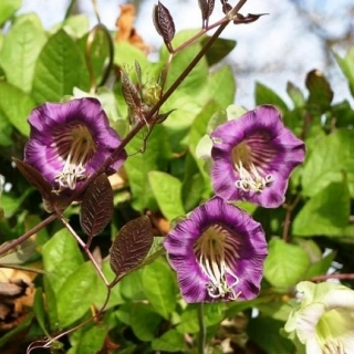 Purple Cup and Saucer Vine seeds - Cobaea scandens - 6 seeds
