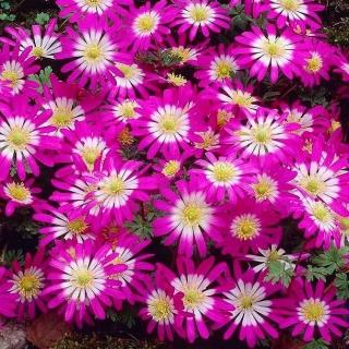 "Balkan anemone ""Pink Star"" - Large pack - 80 pcs; Grecian windflower, winter windflower"