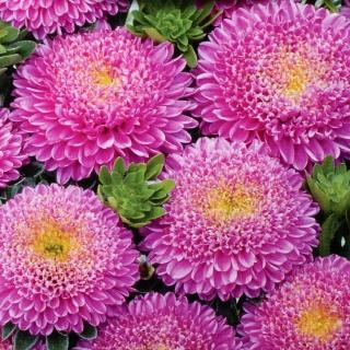 Pink pompom-flowered aster - 500 seeds