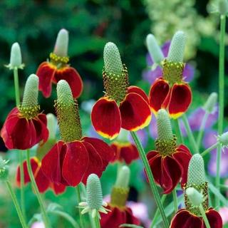 Mexican Hat seeds - Ratibida columnifera - 120 seeds