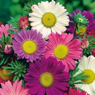 """Aster """"Madeleine"""" - single-flower variety mix - 500 seeds"""