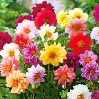 """Garden dahlia """"Unwins"""" - 120 seeds"""