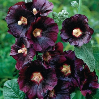 Black Hollyhock seeds - Althaea rosea var. nigra - 35 seeds