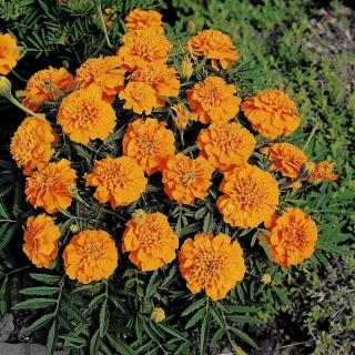 Marigold Perancis Kora Berkembang Dengan Rendah Bunga Oren