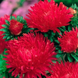 "Peony-flowered aster ""Opalfeuer"" - 450 seeds"