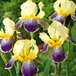 Iris germanica Purple and Yellow