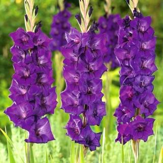 Gladiolus Purple Flora - 5 bulbs