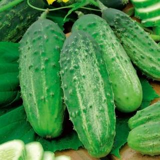 Cucumber Julian F1 seeds - Cucumis sativus - 105 seeds