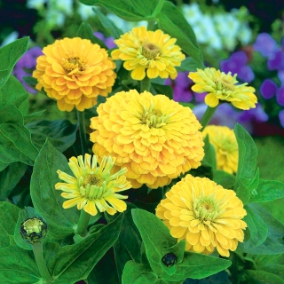 "Dahlia-flowered common zinnia ""Canary Bird"" - 120 seeds"