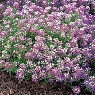 Lily-violet sweet alyssum, Sweet alison - 1750 seeds