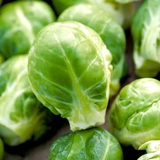 """Brussels sprout """"Casiopea"""" - healthy, green Brussel sprouts - 640 seeds"""