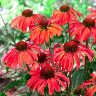 Röd solhatt - Red Mangus - Echinacea purpurea
