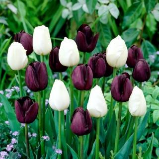 Crimson-purple and white set of 2 tulip varieties - 50 pcs