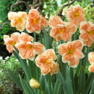 Daffodil, narcissus Apricot Whirl - large package! - 50 pcs