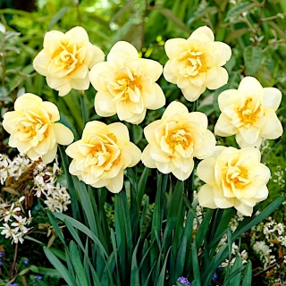 Daffodil, narcissus Manly - large package! - 50 pcs