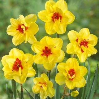 Double-flowered daffodil, narcissus 'Ascot' - large package - 50 pcs