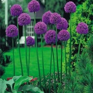 Ornamental garlic Gladiator - XXXL package! - 50 pcs