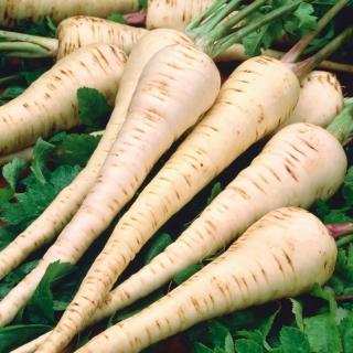 Root parsley 'Olomouncka Dlouha' - 100 grams - professional seeds for everyone