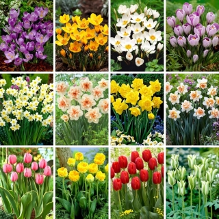 XL-sized set - 80 spring flower bulbs, selection of 12 most beautiful varieties