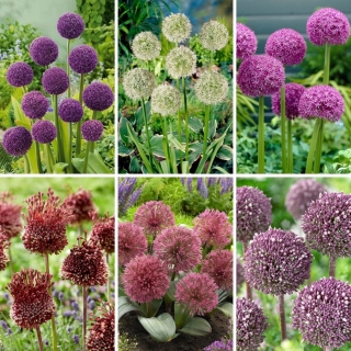 M-sized set - 6 ornamental onion and garlic bulbs selection of 6 most beautiful varieties