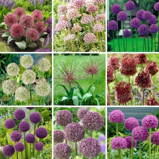L-sized set - 9 ornamental onion and garlic bulbs selection of 9 most beautiful varieties