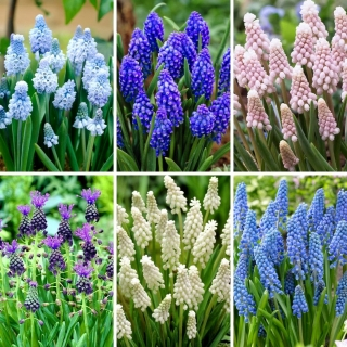 M-sized set -  45 grape hyacinth bulbs, selection of 6 most beautiful varieties