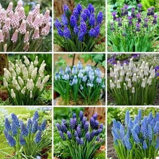 L-sized set - 75 grape hyacinth bulbs, selection of 9 most beautiful varieties