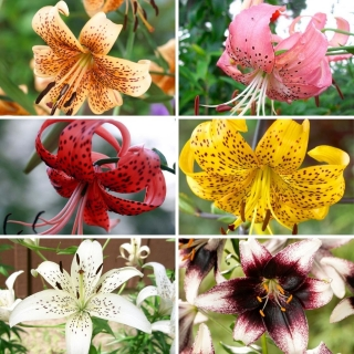 Medium set - 6 bulbs of tiger lilies, selection of the most beautiful varieties