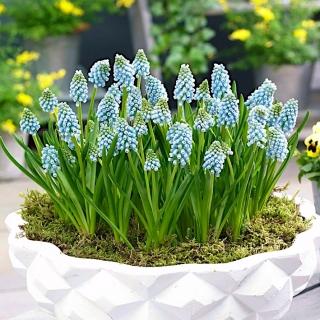Grape hyacinth Aqua Magic – 10 pcs