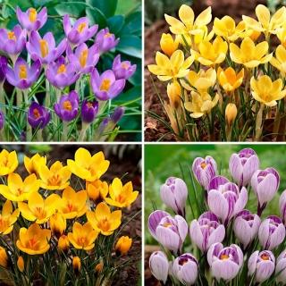 Small set - 40 crocus bulbs - a selection of 4 most intriguing varieties