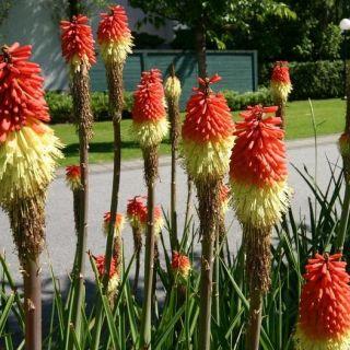 Red Hot Poker, Tritoma seeds - Kniphofia uvaria - 120 seeds