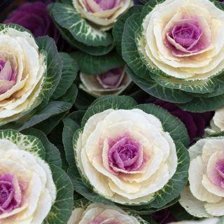 Ornamental Kale, Ornamental Cabbage seeds - Brassica oleracea - 200 seeds