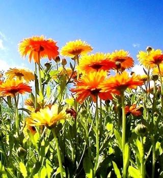 Pot Marigold seeds - Calendula officinalis - 360 seeds