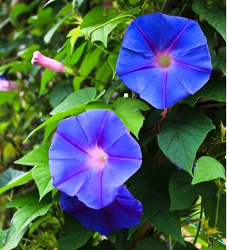 Common Morning Glory mixed seeds - Ipomea purpurea