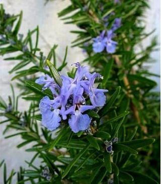 Rosemary seeds - Rosmarinus officinalis - 80 seeds